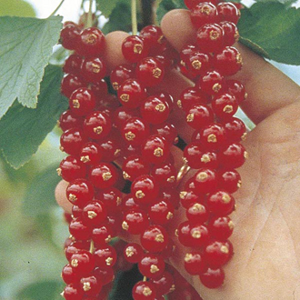Redcurrant Rovada Fruit Plant