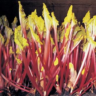 Rhubarb Stockbridge Arrow Crowns