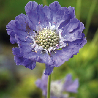 Scabious caucasia Perfecta Blue Potted Flower Plant