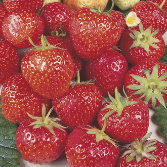 Strawberry Royal Sovereign A+ Grade Fruit Plants (Mid Season)
