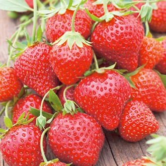 Strawberry Mara des Bois Plants  (Everbearer)