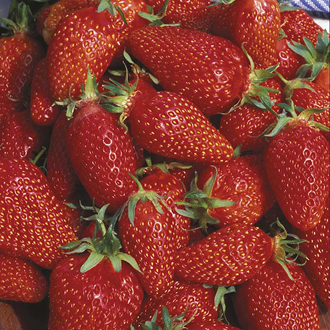 Strawberry Gariguette Fruit Plants (Early Season)