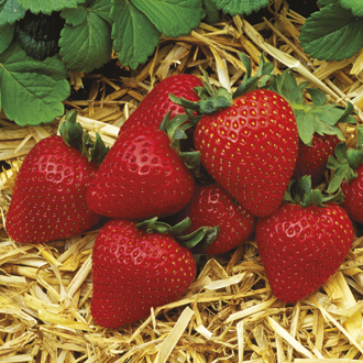 Strawberry Albion Fruit Plants (Everbearer)