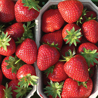 Strawberry Malwina A+ Grade Fruit Plants (Late Season)