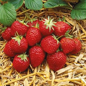 Strawberry Elsanta Fruit Plants (Mid Season)