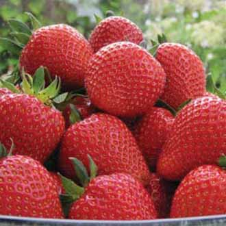 Strawberry Sweetheart A+ Grade Fruit Plants (Early Season)