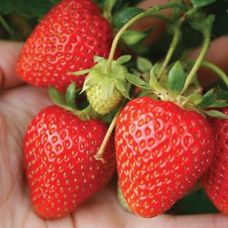 Misted Tip Strawberry Vibrant Fruit Plants