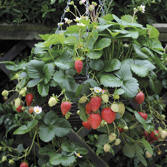 Strawberry Elan F1 Fruit Plants