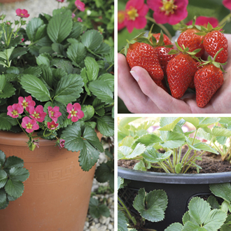 Hanging Basket Strawberry Collection With Baskets