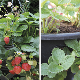 Strawberry Elan F1 Fruit Plants & 2 x 12in Baskets