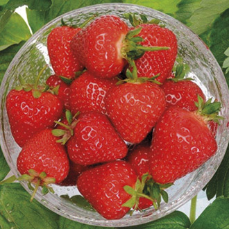 Strawberry Malling Centenary A+ Grade Fruit Plants (Early Season)