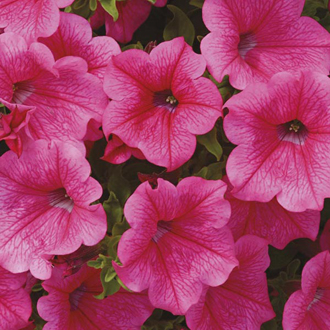 Surfinia Petunias Hot Pink Flower Plants