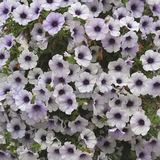 Surfinia Petunia Blue Vein Flower Plants