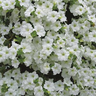 Surfinia Petunias Vanilla Flower Plants
