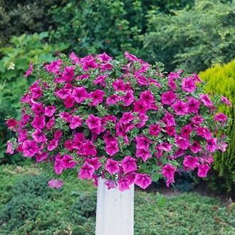 Surfinia Petunia Crazy Pink plants
