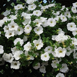 Surfinia Petunia Snow plants