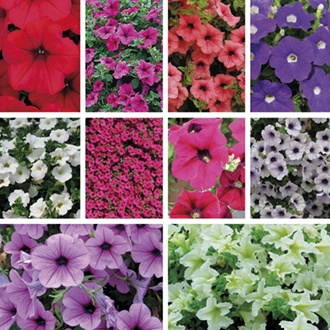 Surfinia Petunias Flower Collection