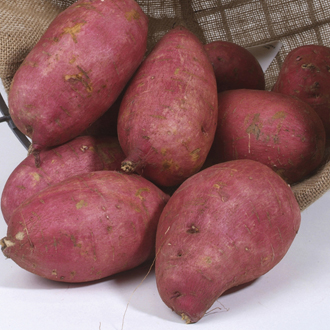 Sweet Potato Murasaki Young Plants