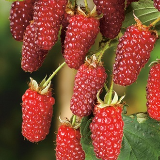 Tayberry Fruit Plant
