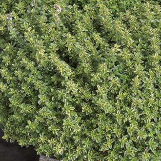 Lemon Thyme Herb Plants