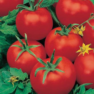 Tomato Ferline (Large) F1 Veg Plants