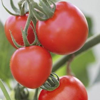 Tomato Mountain Magic F1 (Medium) Veg Plants