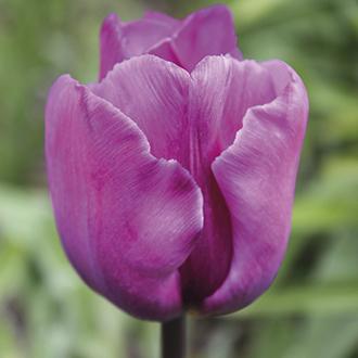 Tulip Blue Ribbon Flower Bulbs