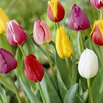 Tulip Mixed Colours Flower Bulbs