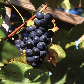Grape Boskoop Glory potted vine