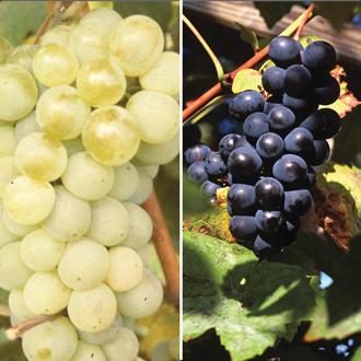 Grape Vine Collection potted plant