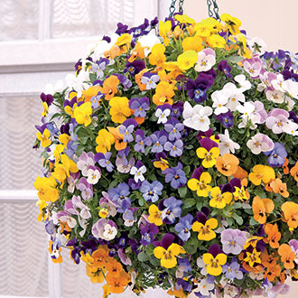 Viola Teardrops Mixed F1 Flower Plants