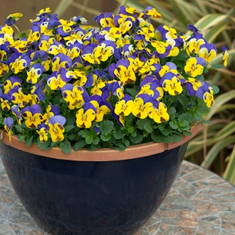 Viola Sorbet Yellow Blue Jump Up F1 Flower Plants