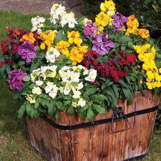 Wallflower Sugar Rush Mixed F1 Flower Plants