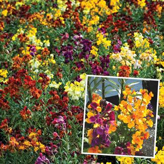 Wallflower Persian Carpet Flower Plants