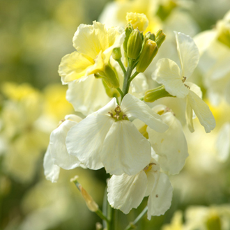 Wallflower Ivory White Flower Plants