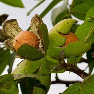 Walnut Europa Fruit Tree