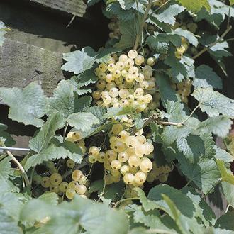 Whitecurrant Fruit Plant Blanka