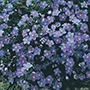 Anagallis Blue Cascade