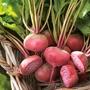 Beetroot Chioggia Vegetable Plants