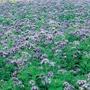 Green Manure Phacelia tanacetifolia Seeds