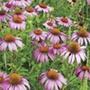 Echinacea purpurea Flower Seeds
