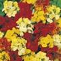 Wallflower Bedder Mixed