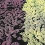Kale Redbor F1 Vegetable Seeds