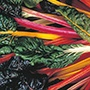 Chard Bright Lights AGM Seeds