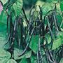 French Bean (dwarf) Purple Teepee Veg Seeds
