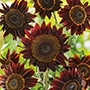 Sunflower Black Magic F1 Flower Seeds