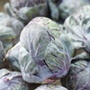 Brussels Sprout Red Rubine