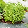 Marjoram Sweet Herb Seeds