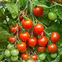 Tomato Gardeners' Delight AGM Seeds