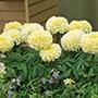 Marigold Vanilla Ice F1 Flower Seeds